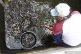 Seorang peternak memanen ikan di industri rumahan aneka olahan lele Matrix, Sumbersari, Jember, Jawa Timur, Jumat (5/3/2021). Memasuki tahun kedua masa pandemi COVID-19 di Indonesia, pelaku UMKM di Kabupaten Jember, seperti peternak lele mengolah komoditas mereka sampai ke produk olahan dan memasarkannya secara daring. Antara Jatim/Seno/zk