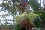 Petani di desa Rukam, Kabupaten Bangka, Provinsi Bangka Belitung Ahmad Nabawi kaget melihat buah jagungnya  berbentuk jamur. (ANTARA/ Sahrul Ependi)