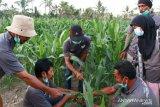 JPF-ACT  bantu pemulihan sektor pertanian pascabencana di Sigi