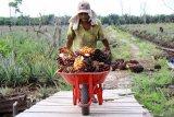 Harga minyak sawit mentah di Jambi naik tipis