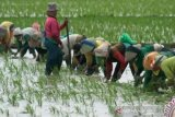 Rokan Hilir jadi kabupaten perdana pengembangan lumbung pangan di Riau