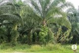 3.000  ha kebun sawit Lampung diremajakan pada 2021