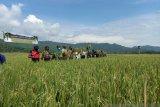 Pemkab Kulon Progo mencetak sawah baru 50 hektare per tahun