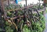 Petani Lebak intensifkan budi daya pisang