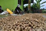 Panen kacang tanah di Desa Labuan Toposo, Donggala