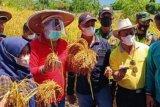 Pemkab Buol  dorong petani padi hasilkan beras kemasan