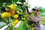 Agrowisata Petik Jeruk Sumbar