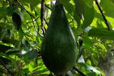 Lampung kembangkan buah lokal alpukat, pisang, manggis, dan nanas untuk ekspor