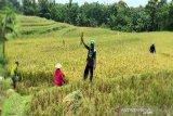 Bulog Surakarta targetkan serap gabah petani sebanyak 48.000 ton