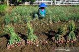 Target Produksi Bawang Merah 2021