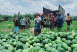 Petani Desa Makmur Peduli Api berhasil budidayakan semangka, panen hingga 20 ton
