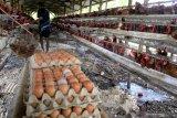 Kementan akan pangkas pasokan ayam guna stabilkan harga
