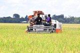 Persawahan di Sulsel 21.950 hektare telah panen per Maret 2021