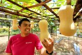 Pengunjung menikmati wahana petik buah di Amanah Borneo Park, Banjarbaru, Kalimantan Selatan, Sabtu (20/3/2021). Amanah Borneo Park merupakan tempat wisata edukasi keluarga yang menawarkan berbagai macam wahana dan atraksi wisata yang dapat di nikmati semua kalangan. Foto Antaranews Kalsel/Bayu Pratama S.