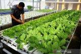 Budidaya Sayuran Dengan Sistem Hidroponik di Tengah Pandemi
