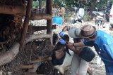 Cegah penyebaran antraks, 4.951 ternak  di Gunung Kidul divaksin