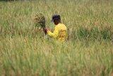Harga gabah petani Cirebon di bawah HPP