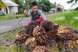 Kandungan fitonutrien pada sawit bisa dongkrak ekonomi Indonesia