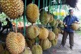 Durian Ronga-Ronga Gayo Aceh