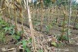 Pemkab Barut dorong petani optimalkan lahan pertanian jagung dan sayuran