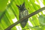 Burung Celepuk Sulawesi (Otus manadensis) bertengger di ranting pohon di perkebunan warga di Desa Dulamayo, Bongomeme, Kabupaten Gorontalo. Celepuk Sulawesi merupakan salah satu spesies burung hantu endemik Sulawesi yang digunakan untuk lambang sejumlah daerah di Sulawesi Utara. (ANTARA FOTO/Adiwinata Solihin)