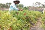 Pemkab Bantul mendorong gerakan menanam cabai di emperan rumah