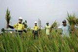 Semen Gresik dan petani panen raya padi, jagung, dan jambu di area pabrik