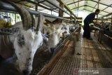 Produksi Susu Perah Kambing Sapera