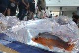 Pengunjung dan peserta berkerumun saat kontes ikan koi di Kediri, Jawa Timur, Sabtu (27/3/2021). Kontes di ruang tertutup yang menampilkan sedikitnya 2.500 ekor ikan koi dari sejumlah daerah dan dihadiri banyak orang tersebut rawan terjadi penularan COVID-19. Antara Jatim/Prasetia Fauzani/zk.