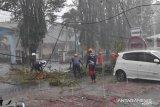 Pengendara motor tertimpa pohon di Jember