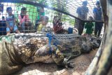 Seekor buaya senyulong (Tomistoma schlegelii) menjadi tontonan warga saat persiapan pelepasliaran, di Sungai Benu, areal konsesi PT Tri Pupajaya, Tanah Pilih, Banyuasin, Sumatera Selatan.Kamis (25/3/2021). Pelepasliaran seekor buaya senyulong dewasa yang berasal dari serahan warga dan sempat dirawat di Tempat Penyelamatan Satwa (TPS) BKSDA Jambi itu dilakukan di Sungai Benu yang menghilir ke Taman Nasional Berbak Sembilang (TNBS). ANTARA FOTO/Wahdi Septiawan/hp.