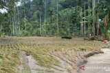 Banjir rusak 10 hektare lahan pertanian dan jembatan di Pasaman