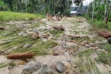 Akibat banjir, kerugian pertanian di Sundata Pasaman capai Rp180 juta
