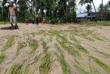 Enam hektare sawah siap panen di Pasaman rusak diterjang banjir