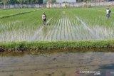 1.106 hektare lahan di Lombok Utara siap ditanami padi