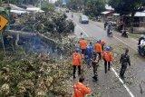 Pohon durian tumbang tutup  jalan Padang-Bukittinggi di Sumbar