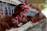 Ayam petelur di peternakan Badan Layanan Usaha Daerah Unit Pelaksana Teknis Dinas Balai Ternak Non Ruminansia (BLUD UPTD BTNR) Dinas Peternakan Provinsi Aceh, Aceh Besar, Aceh, Rabu (31/3/2021). BLUD UPTD BTNR Aceh memiliki sekitar 50 ribu ekor lebih ayam yang mampu memproduksi sekitar 40 ribu butir telur per hari. Antara Aceh/Irwansyah Putra