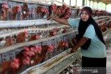 Pekerja meratakan pakan ayam petelur di peternakan ayam petelur Badan Layanan Usaha Daerah Unit Pelaksana Teknis Dinas Balai Ternak Non Ruminansia (BLUD UPTD BTNR) Dinas Peternakan Provinsi Aceh, Aceh Besar, Aceh, Rabu (31/3/2021). BLUD UPTD BTNR Aceh memiliki sekitar 50 ribu ekor lebih ayam yang mampu memproduksi sekitar 40 ribu butir telur per hari. Antara Aceh/Irwansyah Putra