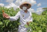 Wabup Sleman dan TPID meninjau usaha pembenihan hortikultura
