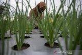 Peningkatan produktivitas tanaman bawang merah