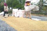 Harga gabah Lampung  turun 14,39 persen