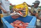 Ikan Kakap Kualitas Ekspor