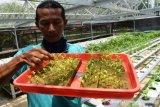 Menyiapkan Bibit Sayur Hidroponik