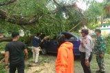 Sembilan pohon di Padang tumbang akibat angin  kencang