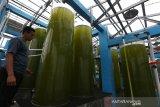 Petugas mengontrol tabung berisi mikroalga untuk pakan larva ikan, udang, zooplankton dan ikan herbivora yang dikembangkan dengan teknologi fotobioreaktor di Balai Perikanan Budidaya Air Payau (BPBAP) Kementerian Kelautan dan Perikanan, Ujong Batee, Aceh Besar, Aceh, Jumat (2/4/2021). BPBAP Ujong Batee memanfaatkan teknologi fotobioreaktor untuk meningkatkan produktivitas mikroalga dengan produksi 3 juta sel mikroalga jenis Skeletonema dan 100 juta sel mikroalga jenis Nannochloropsis per hari. Antara Aceh/Irwansyah Putra.
