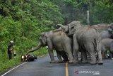 Aparat kepolisian dan BKSDA Pelalawan giring gajah ke habitatnya