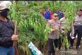Polisi tangkap oknum guru tanam ratusan batang ganja