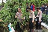 Polres Rejang Lebong kembangkan kasus ladang ganja 1/4 Ha