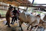 Pemkab Bantul meluncurkan program Sapi Kerbau Komoditas Andalan Nasional