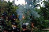 BNN musnahkan 70 ribu  batang ganja